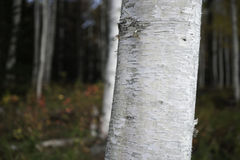 Forest of birch. Royalty Free Stock Photography