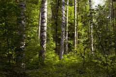 Forest with birches Stock Images