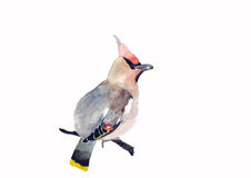Forest bird illustration. Waxwing, hand painted watercolor Illustration of a forest bird, on white background Royalty Free Stock Image