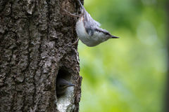 Forest bird Nuthatch look around, guards the nestlings. Passerine bird Sitta europaea near the nest on green background Royalty Free Stock Photos