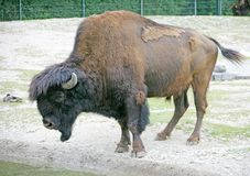 Forest bison 2. Forest bison at watering pond Royalty Free Stock Image