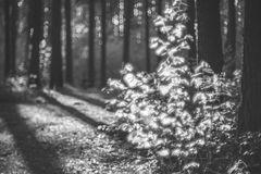 Forest in black and white. Forest nature detail background in spring. Special swirly bokeh oh helios lens stock image