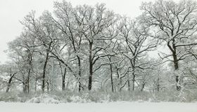 Forest After Blizzard In Winter royalty free stock photo