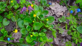 In forest blossomed yellow Ficaria verna. beautiful yellow flowers, blue flowers bloom in spring Park. In forest blossomed yellow Ficaria verna. beautiful stock video