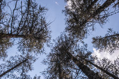 Forest and blue cloudy sky. A forest and blue cloudy sky Stock Images