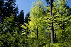 Forest with blue sky Royalty Free Stock Image
