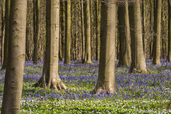 Forest with Bluebell Hallerbos Stock Images
