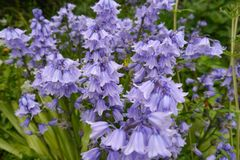 A forest of bluebells. A host of bluebells sway in an afternoon breeze royalty free stock photo