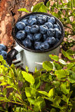Forest blueberries. Royalty Free Stock Image