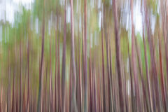 Forest blur abstract background. Pine trees tall Royalty Free Stock Photography