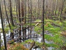 Forest bog Royalty Free Stock Image