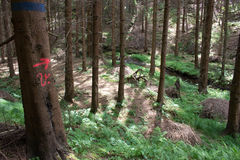 Forest on the border of Czech Republic and Germany. Coniferous forest on the border of Czech Republic and Germany Royalty Free Stock Image