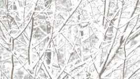 Forest branches covered with snow. Video of branches of forest trees covered with snow and moving in the wind during a snowstorm stock video footage