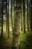 Forest in Brecon Beacons. Mysterious forest, tee close up, Brecon Beacons National Park in Autumn, Wales Stock Images