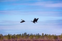 Forest-breeding bean geese on background of summer blue sk. Forest-breeding bean goose Anser fabalis fabalis - sudden frightened start of birds. Photos for Stock Images
