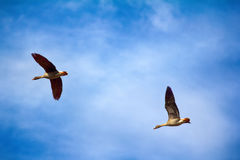 Forest-breeding bean goose - couple of breeding geese Royalty Free Stock Photos
