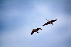 Forest-breeding bean goose - couple of breeding geese Stock Photo