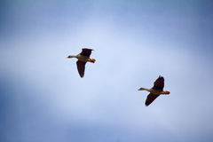 Forest-breeding bean goose - couple of breeding geese Royalty Free Stock Image