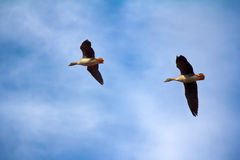 Forest-breeding bean goose - couple of breeding geese Royalty Free Stock Images