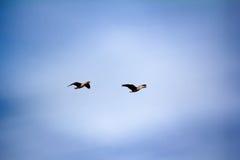 Forest-breeding bean goose - flock of breeding geese Royalty Free Stock Image