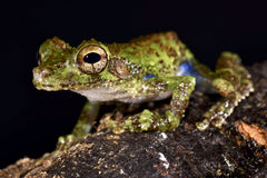 Forest Bromeliad Treefrog, Osteocephalus cabrerai. The Forest Bromeliad Treefrog, Osteocephalus cabrerai, is a rarely seen tree frog species found in Suriname Stock Image