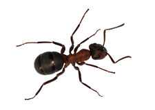 Forest brown ant top view Stock Image