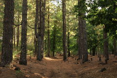 Forest. Forest, brown ground and green trees Stock Image