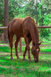 Forest brown horse Royalty Free Stock Images