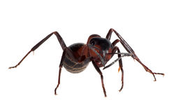 Forest brown isolated ant Royalty Free Stock Photos