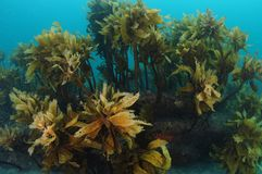 Forest of brown stalked kelp royalty free stock image