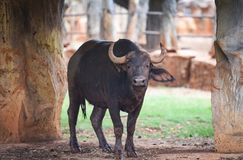 Forest buffalo - african buffalo wildlife on farm zoo in the national park stock image