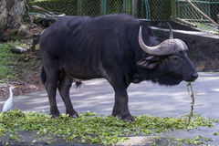 Forest buffalo Stock Images