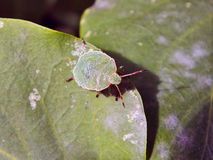 Forest bug Royalty Free Stock Image