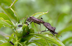 Forest bugs . Heteroptera. Predatory bugs, in particular bugs kind of Orius and Nabis destroy harmful for agriculture and forestry insect caterpillars, aphids Stock Photo