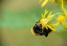 Forest bumblebee on a flower Royalty Free Stock Photo