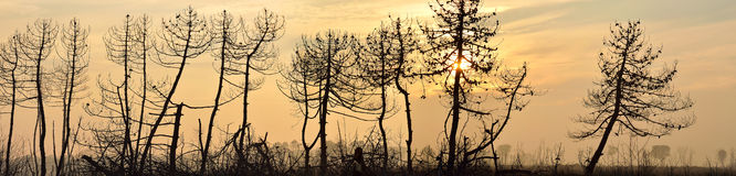 Forest burned by fire in dante's beach, italy Royalty Free Stock Photo