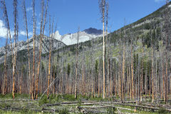 Forest of burned trees in Banff, Canada Royalty Free Stock Photos
