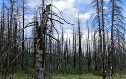 Forest of burned trees. Stock Photos