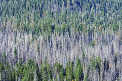 Forest of burnt trees and green Royalty Free Stock Images