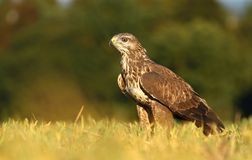 Forest buzzard Stock Photography