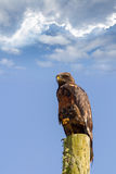 Forest buzzard Stock Images