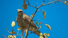 Forest Buzzard sitting on branch. Forest buzzard, african raptor, Central Kalahari Game Reserve, raptor sitting on branch, blue, brown, Africa, Botswana, bird of Stock Images