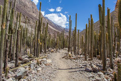 Forest cacti in the canyon Cotahuasi royalty free stock photo