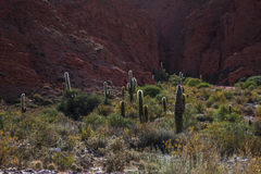 Forest of cactuses stock images