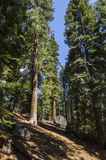 Forest in California Royalty Free Stock Photos