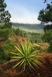 Forest of Canary Island Stock Photography