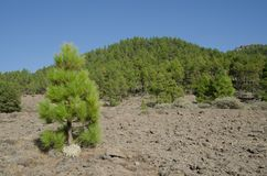 Forest of Canary Island pine stock images