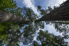 Forest Canopy Foto de Stock