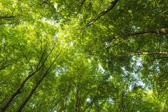 A forest canopy from below Stock Image