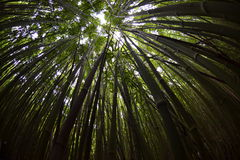 Forest Canopy de bambu, Fisheye Imagem de Stock Royalty Free